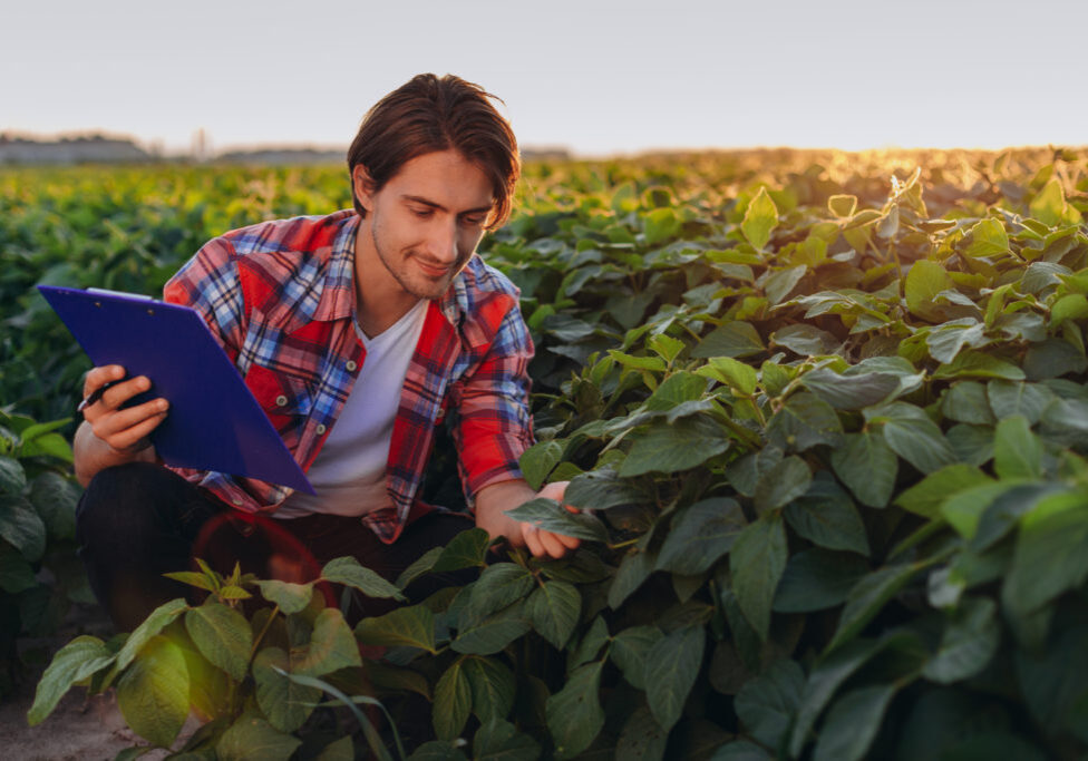 Smiling agronomist  in a field  taking control of the yield and touches plants in sunset.- Image