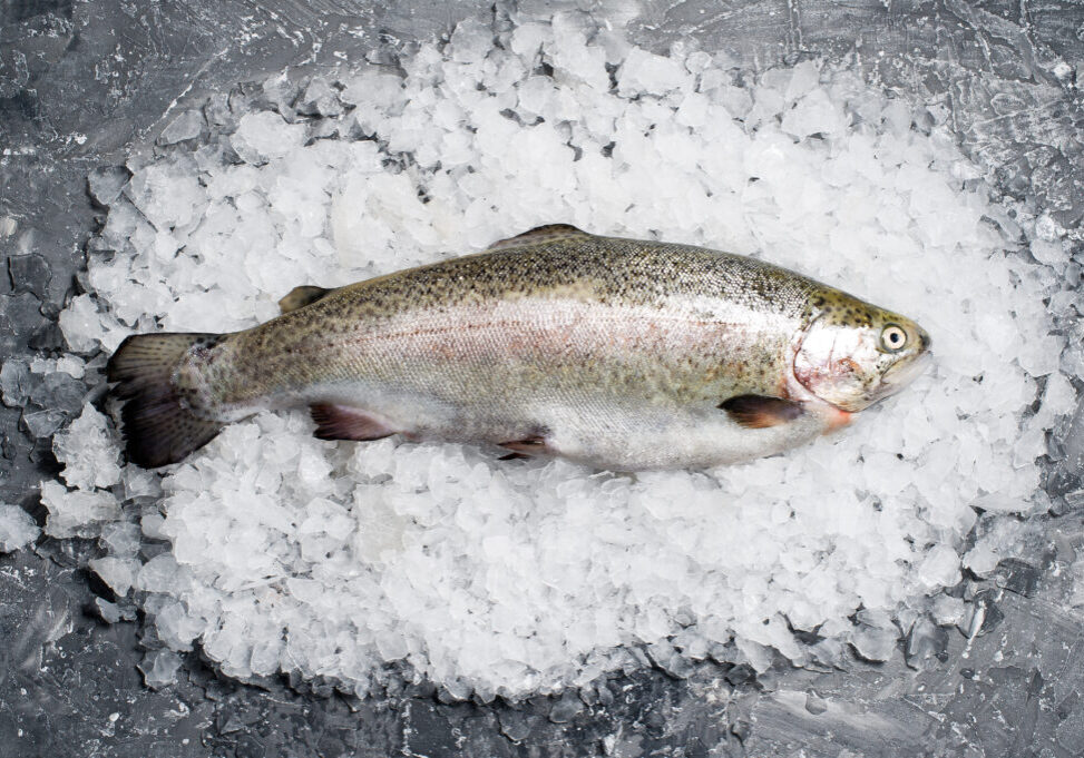 Raw trout on ice. Grey background, top view